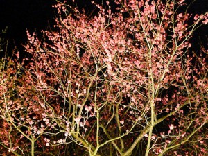 なばなの里2012-2013 梅の花