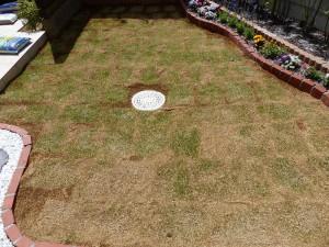 芝生を植えて3週間-3