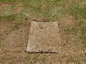 部分的に芝生を張替え2