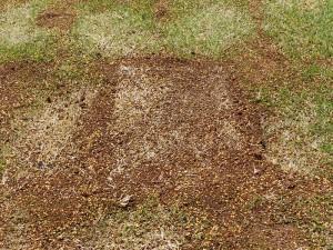 部分的に芝生を張替え3