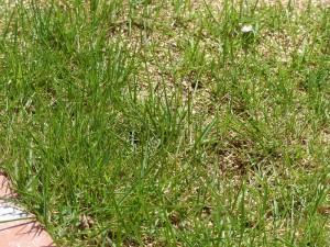 まあまあ緑の芝