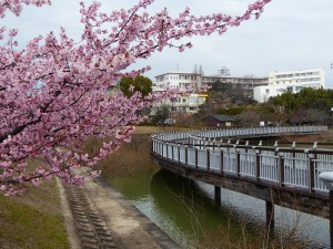 近所の河津桜1