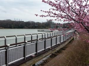 近所の河津桜2