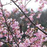 河津桜も咲き始め