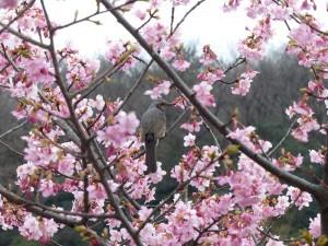 近所の河津桜3