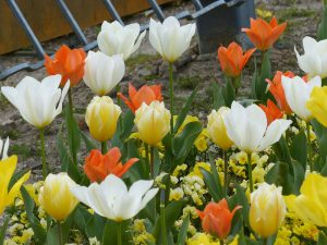 春のお花3