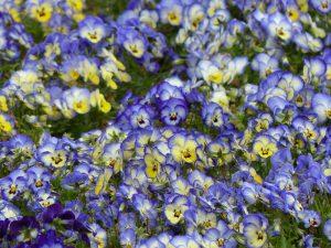 春のお花4