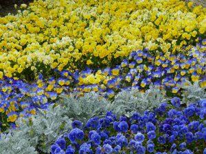 春のお花7
